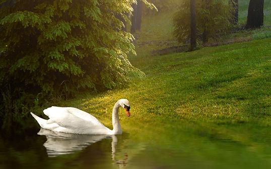 swan and nature.jpg