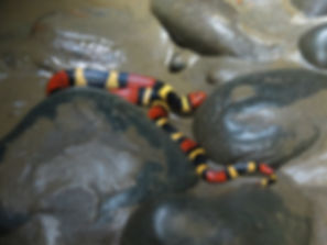 Coral Snake while washing dishes Photo C