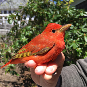 Bird Banding notes from Manomet