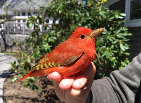Bird Banding notes from Manomet