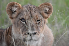 Lion cub in Botswana, Africa