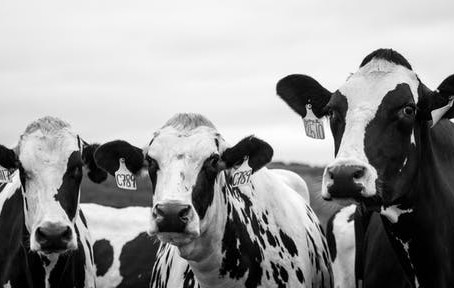 Heat Stress in Dairy Herds: Get the Facts