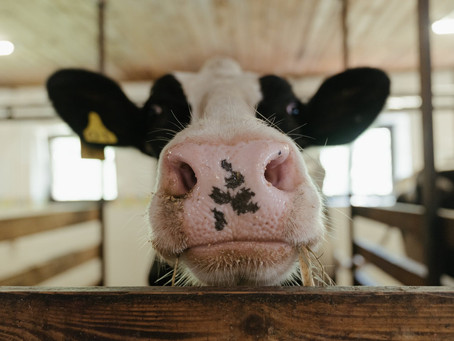 Surviving Summer on the Dairy Farm: A Veterinary Perspective