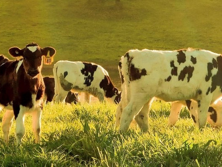 Getting your Calves off to a Great Start using Probiotics