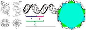 DNA Phi Fibon.jpg