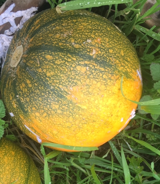whopper pumpkin!!