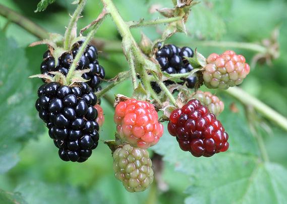 blackberries vine