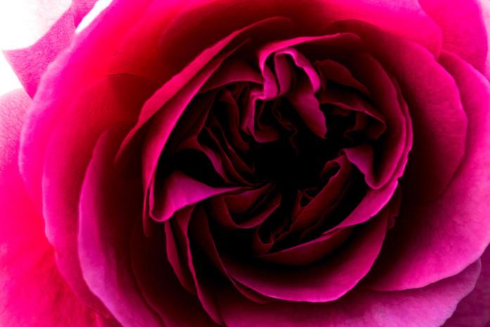 Detailaufnahme Bluetenkelch Rosa Pink