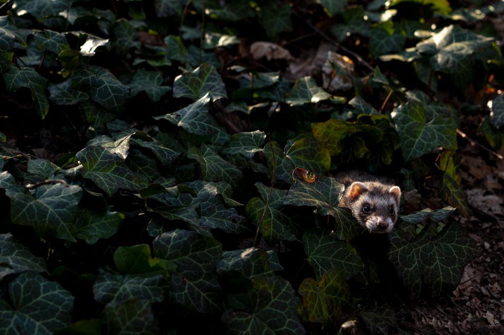Ferret-frigga-fights-through-the-undergrowth