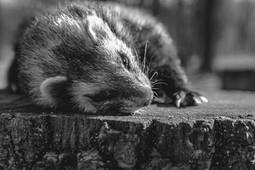 Ferret on a tree stump just before falling asleep