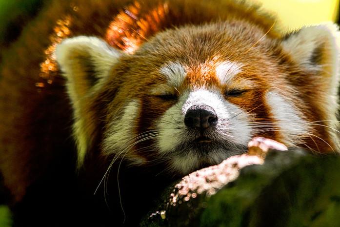 Schlafender-Katzenbaer