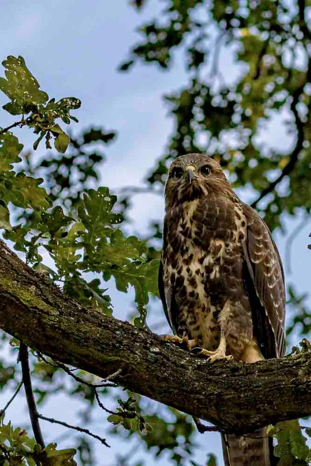 Bird of prey_received_in_Berlin_Wuhlheide_Park