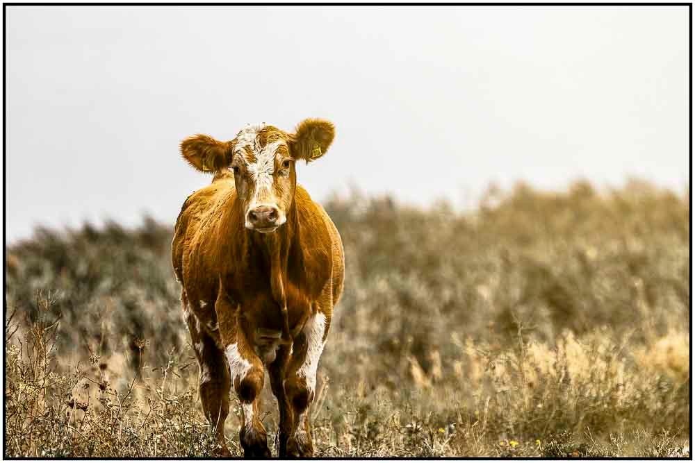 Stalker cow near Kos island