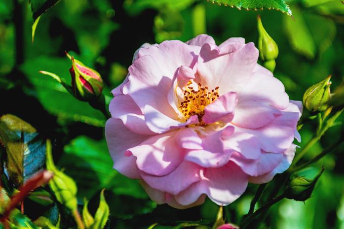 rosa Bluete in praller Sonne