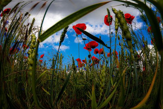 Froschperspektive-eines-Mohnfeldes