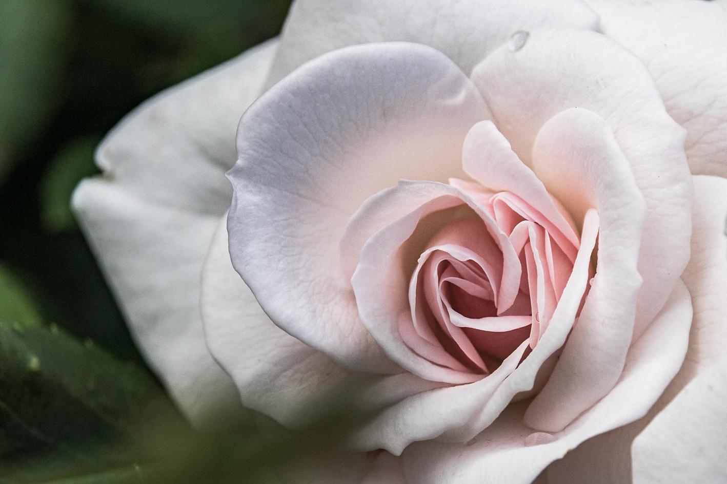 weiss pinke Rosenbluete Nahaufnahme detailaufnahme