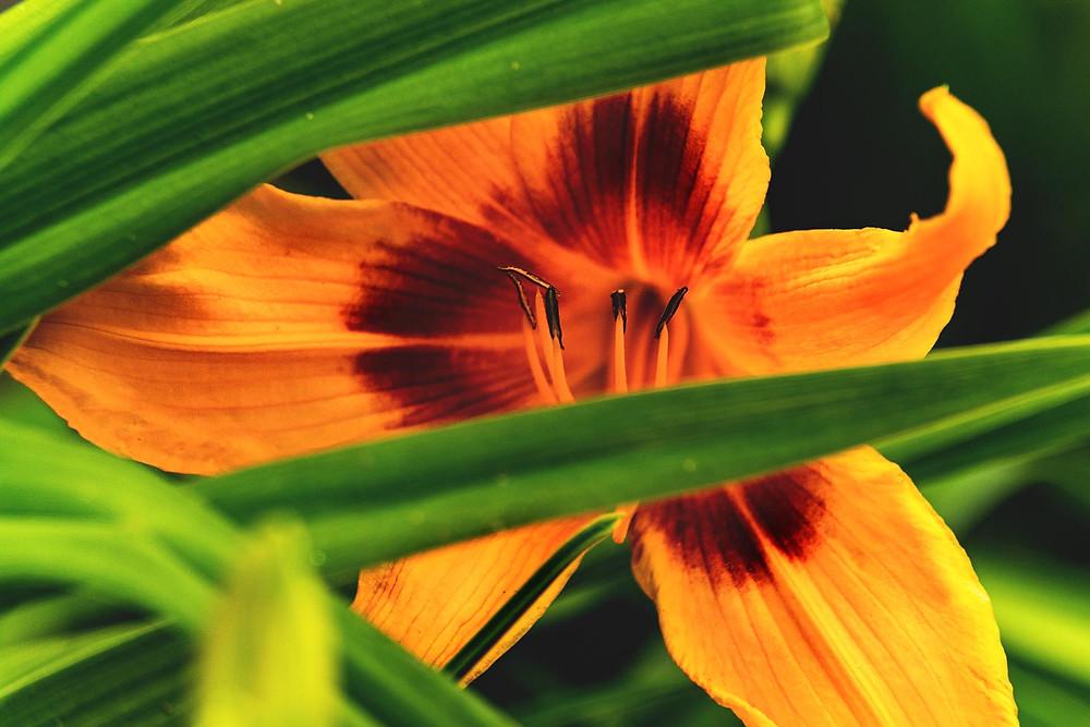 Feuerlilie Leinwand Motiv gelb rot grün Gräser Detailaufnahme