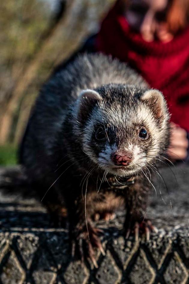 Frigga has any expectations of typical ferrets
