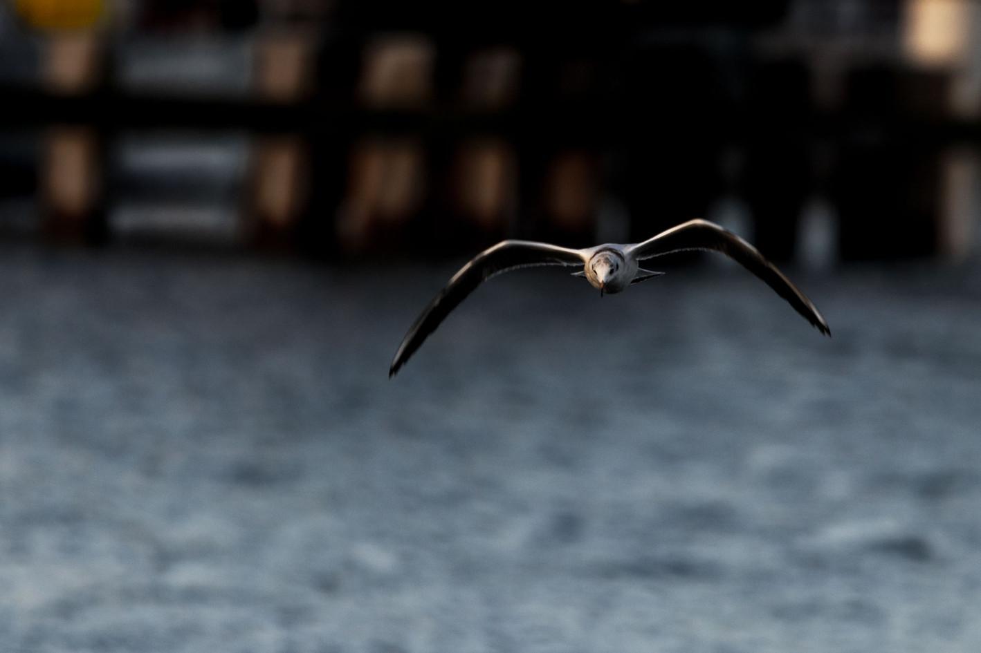 Moewe-im-Flug-ueber-das-Wasser-Greifswal