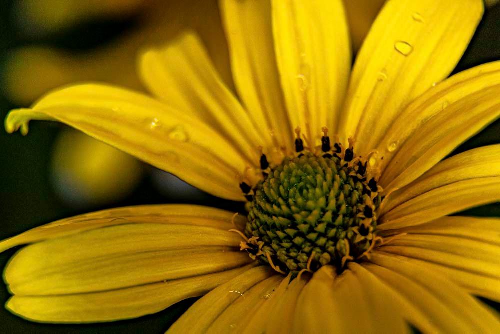 gelbe Blüte, Blütenkelch, Wassertropfen, Lotuseffekt, Detailaufnahme