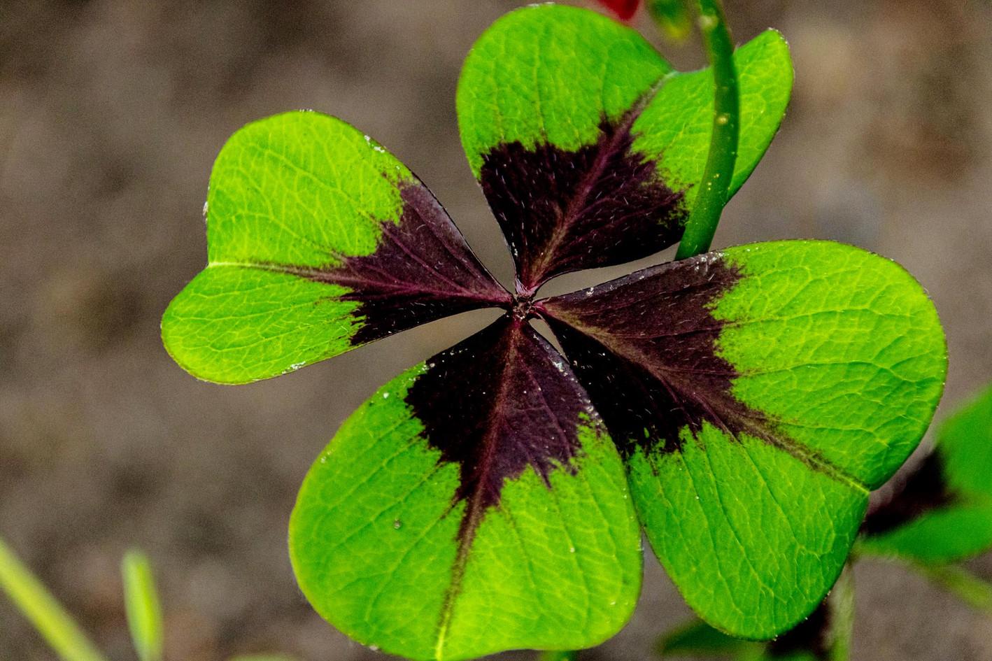 Ist das ein vierblaettriges Kleeblatt