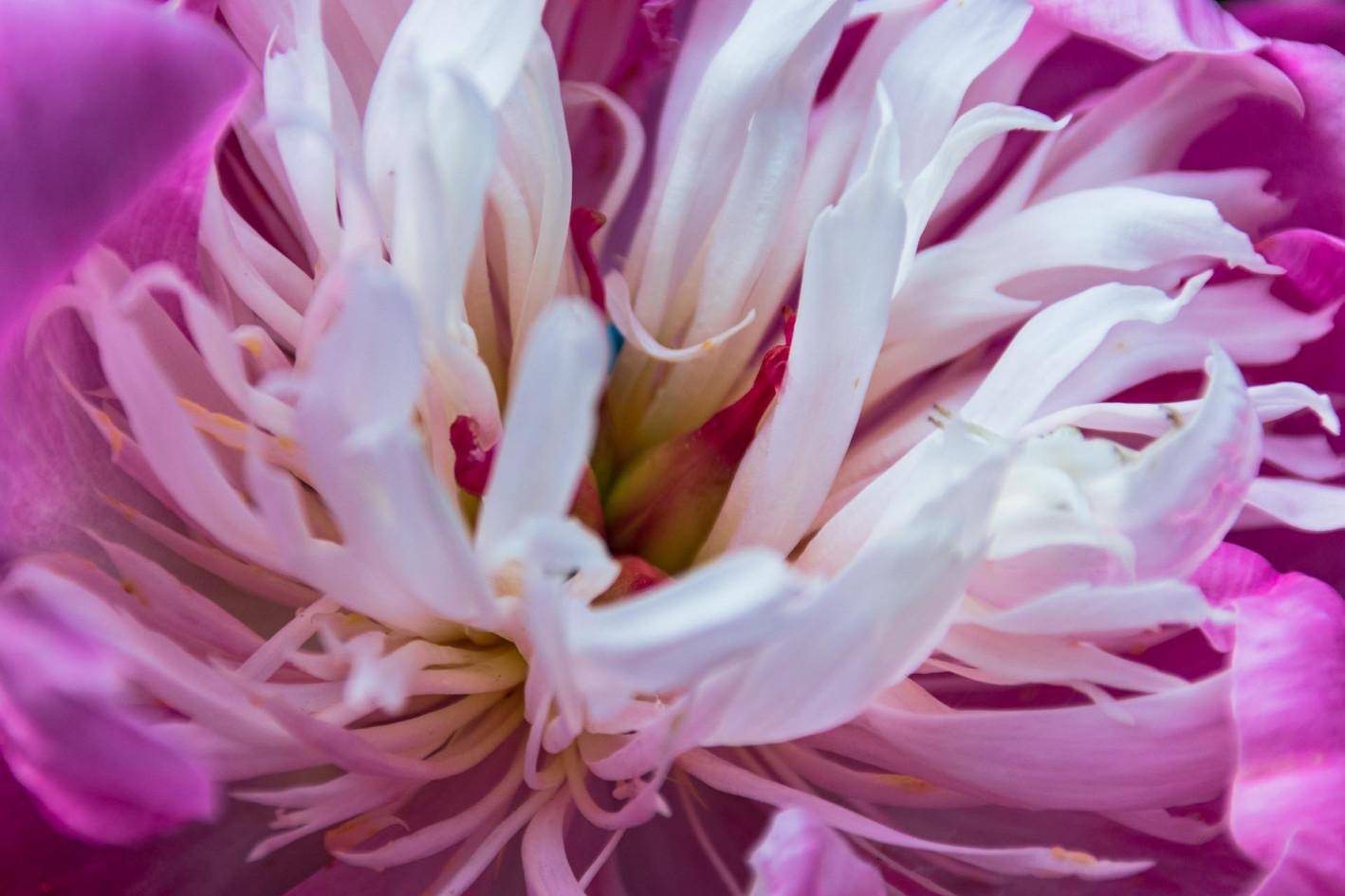 Detailaufnahme Bluetenkelch weiss pink