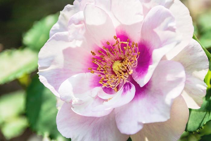 wunderschoene weisse lila Bluete