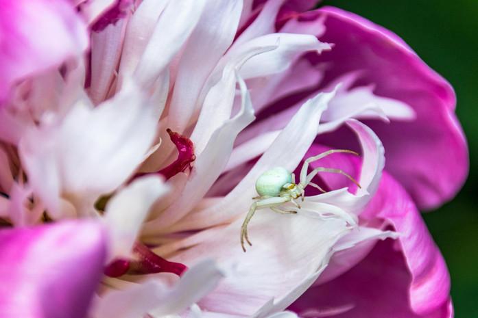Weisse Spinne Violett weisse Bluete