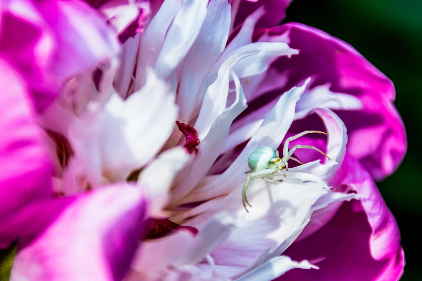 Violett weisse Bluete Bluetenkelch Botanischer Schaugarten Christiansberg