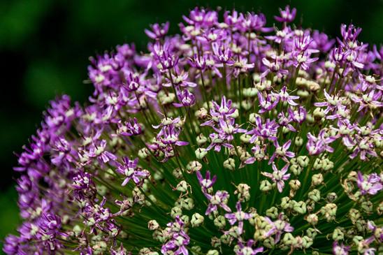 violett weisser Bluetenstrauch mit Knospen