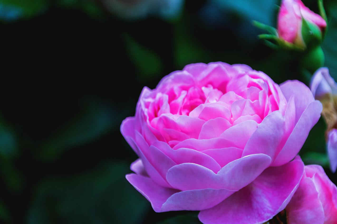 bezaubernde rosane Bluete
