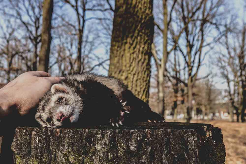 Frettchen Frigga laesst sich auf Baumstamm kraulen Tierportraet