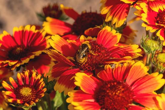 Biene auf gelb roten Blueten auf Pollensuche
