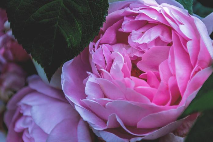 rosa Bluete durch das Blattwerk fotografiert