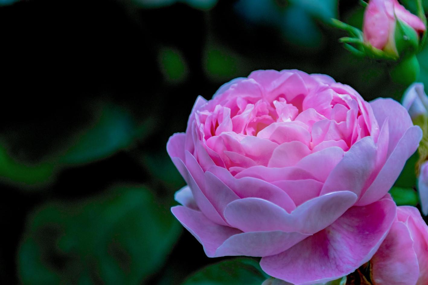eindrucksvolle rosa Bluete