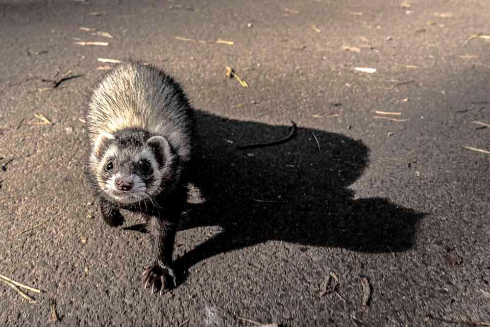 Ferret Frigga is running towards you