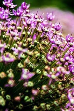 Violett weiss Bluetenstrauch Botanischer Garten Christiansberg