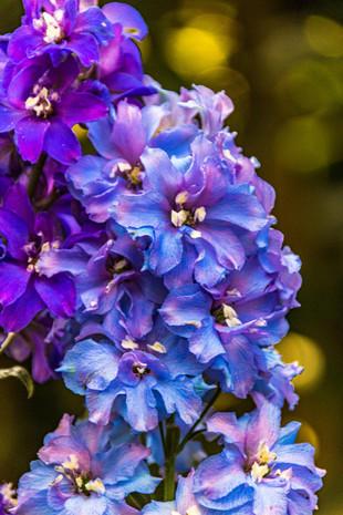 Rittersporn eine Ode in blau violett Blueten