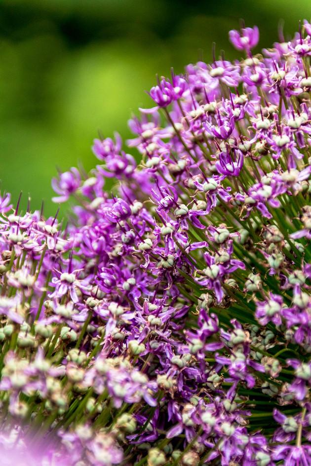 Violetter Blumenstrauch Botanischer Garten Christiansberg