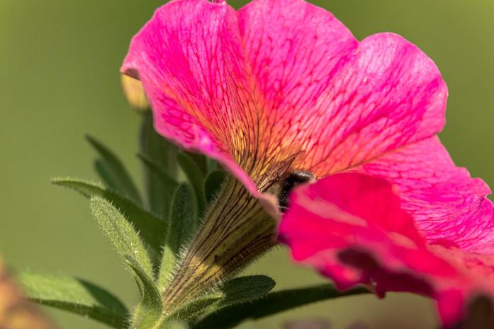 Biene versteckt sich in rosa pinker Bluete