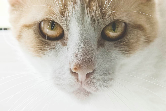 Katze Skadi guckt garstig Tier-Portrait