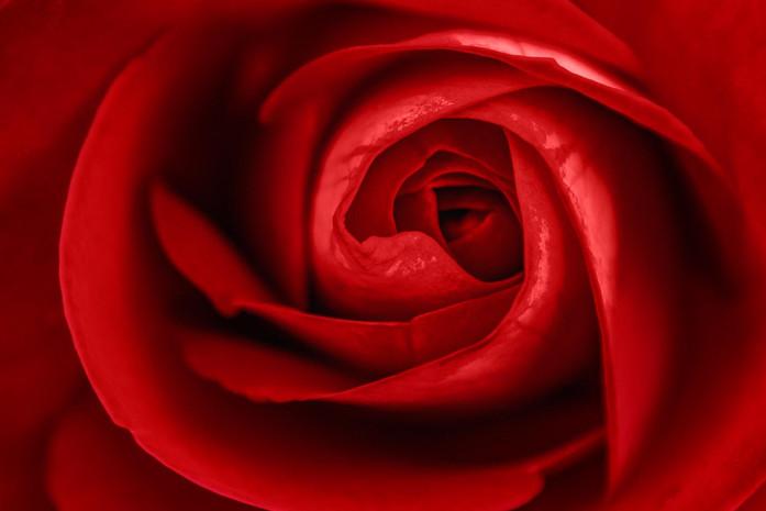 Bluetenkelch einer roten Rose Nahaufnahme