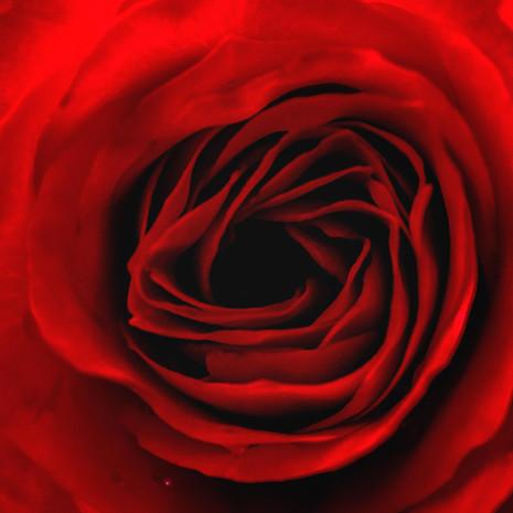 Quadratisch Bluetenkelch einer roten Rose