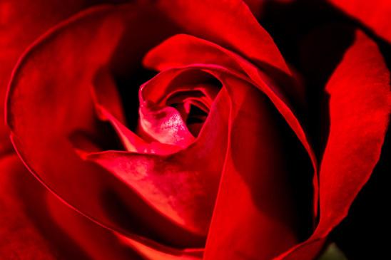 Zentrum einer roten Rose Bluetenkelch