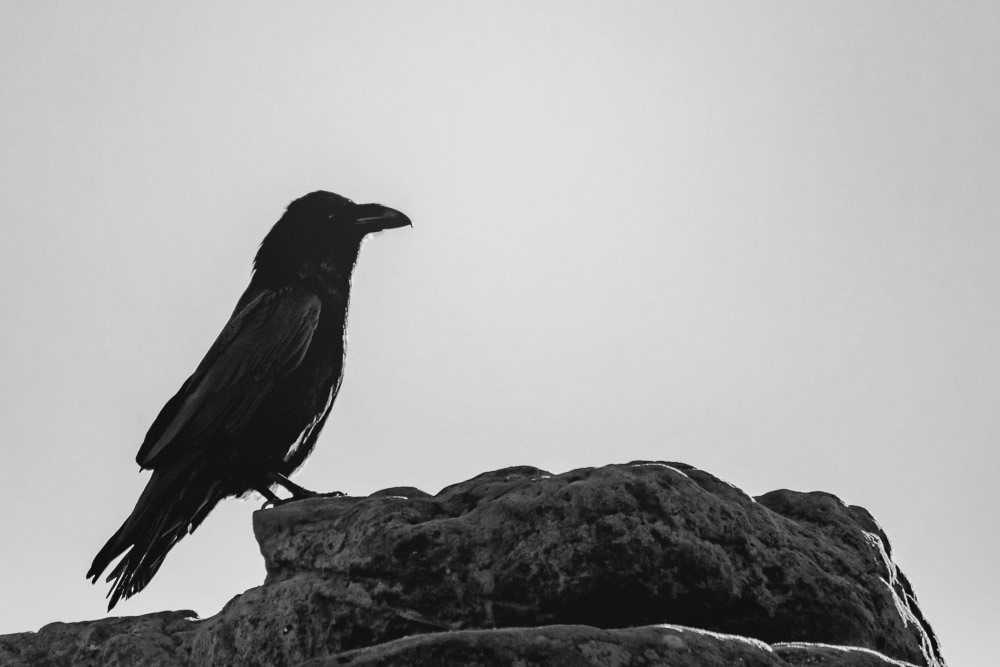 Raven on the sandstone black and white grit dark