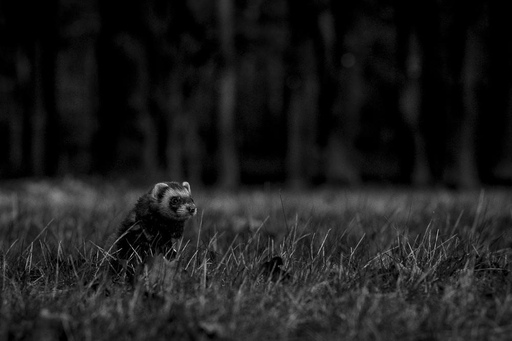 Frigga in tall grass 85mm Canon lens