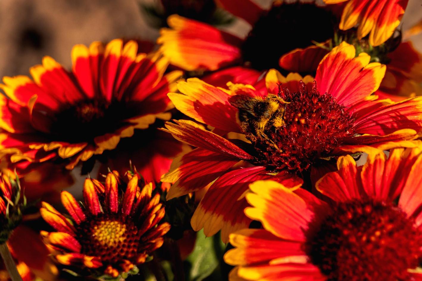 Biene sammelt Pollen von rot gelben Blueten