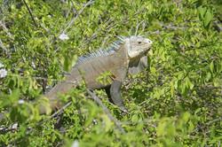 Iguane delicatissima