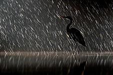 1° Maitan Gianni - Heron in the rain