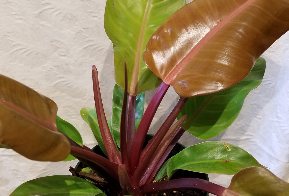 "6"" Philodendron Prince of Orange"